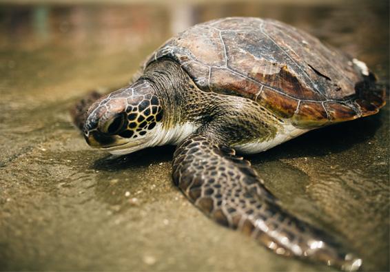 Tartaruga marinha de volta para o mar apÓS reabilitaÇÃO
